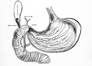 Gallbladder and Stomach