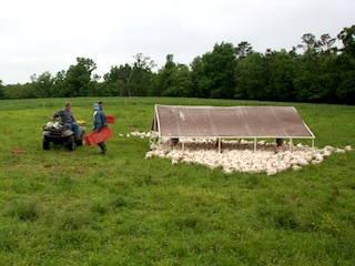 A flock of pastured chickens and their mobile shelter, being raised for Tendergrass Farms