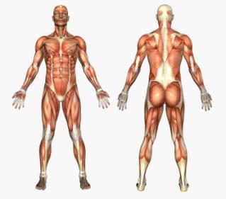 Symmetrical Musculature